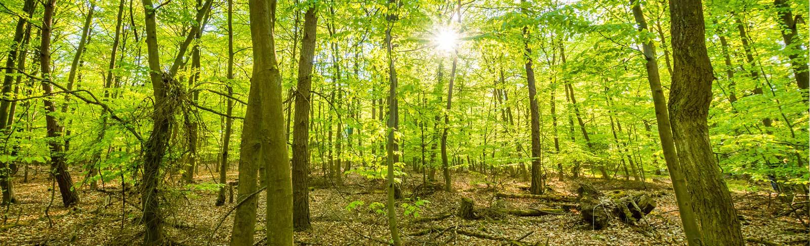 grüner Wald mit Sonnenstrahlen